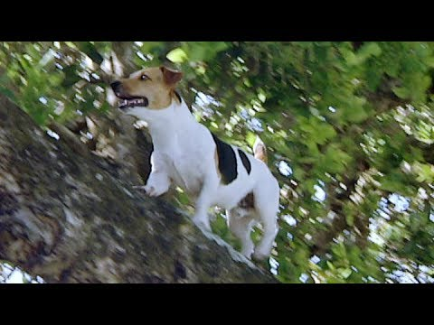 Fearless Jack Russell that Runs up Trees