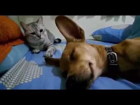 PET CENTRAL - VIDEOS - Watch the cat's reaction when the dog farts in his sleep!