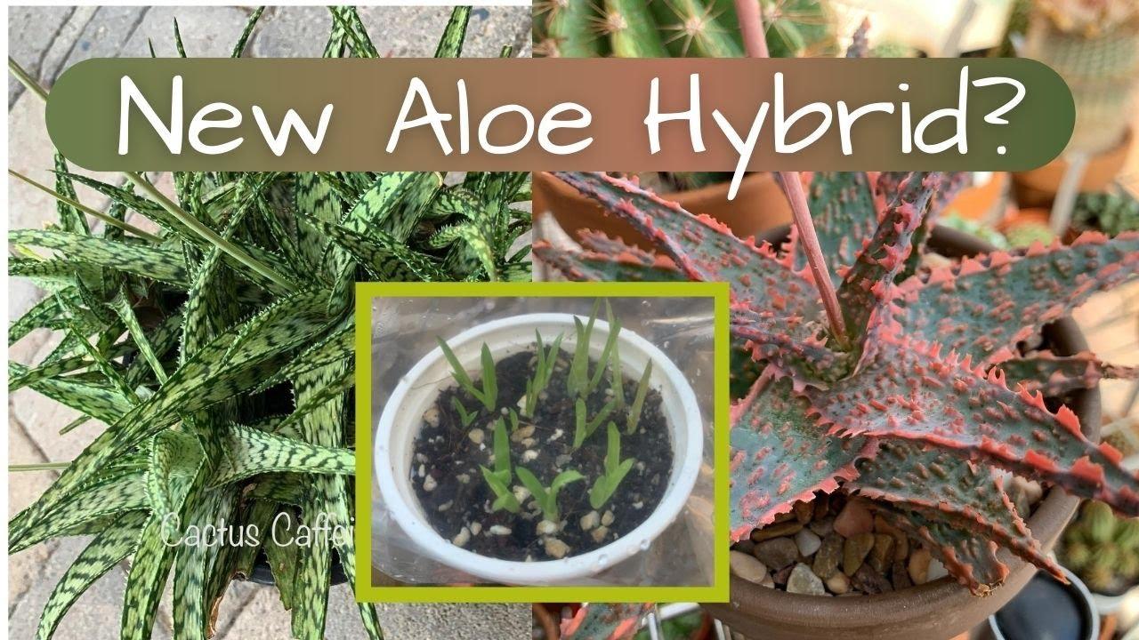 Aloe Seedlings (a new hybrid?) | Grow Aloe from Seeds