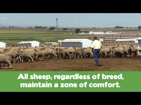 SPANISH -- How to Handle Sheep -- Part 2 -- Handling Sheep in Market Facilities