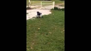 Meet Millie A Retriever Labrador Currently Available For Adoption At Petango.com! 12/1/2014 9:44:39