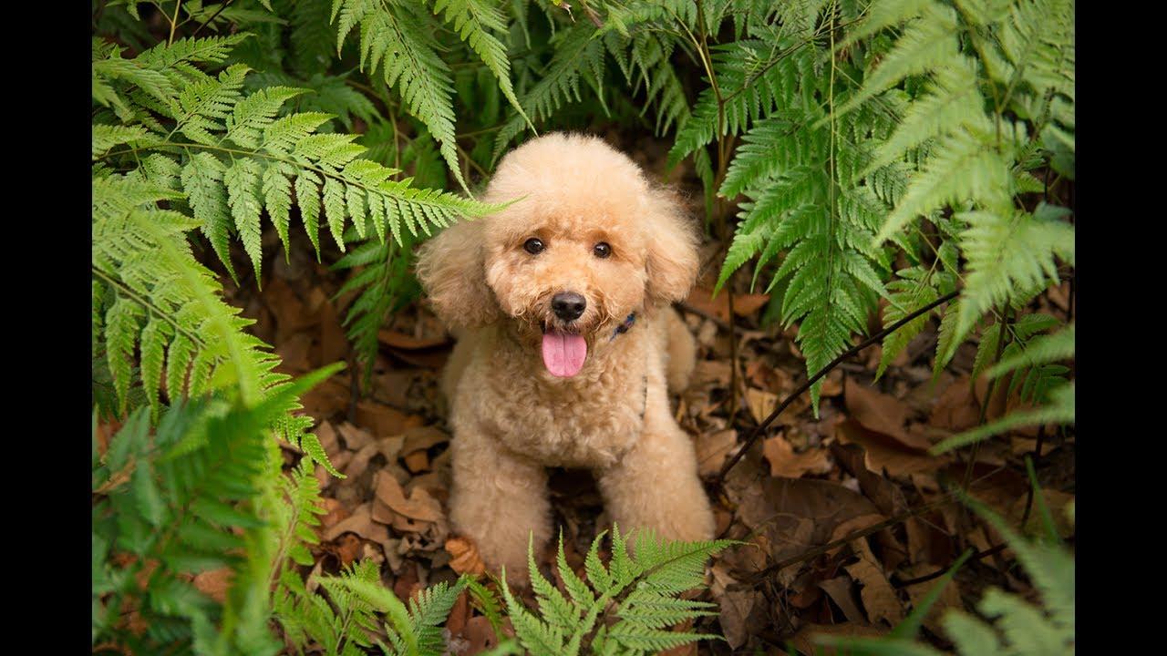 Kiki The Toy Poodle At Singapore Botanic Gardens Unesco