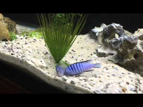 My red oscar fish furthermore Oscar Fish Care moreover 7zsregy1upq likewise Making Chihuahua Less Aggressive 8260 additionally African Cichlid breeding behavior 3F. on oscar fish mating behavior
