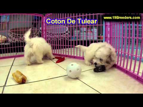 Coton De Tulear, Puppies, For, Sale In Toronto, Canada, Cities, Montreal, Vancouver, Calgary