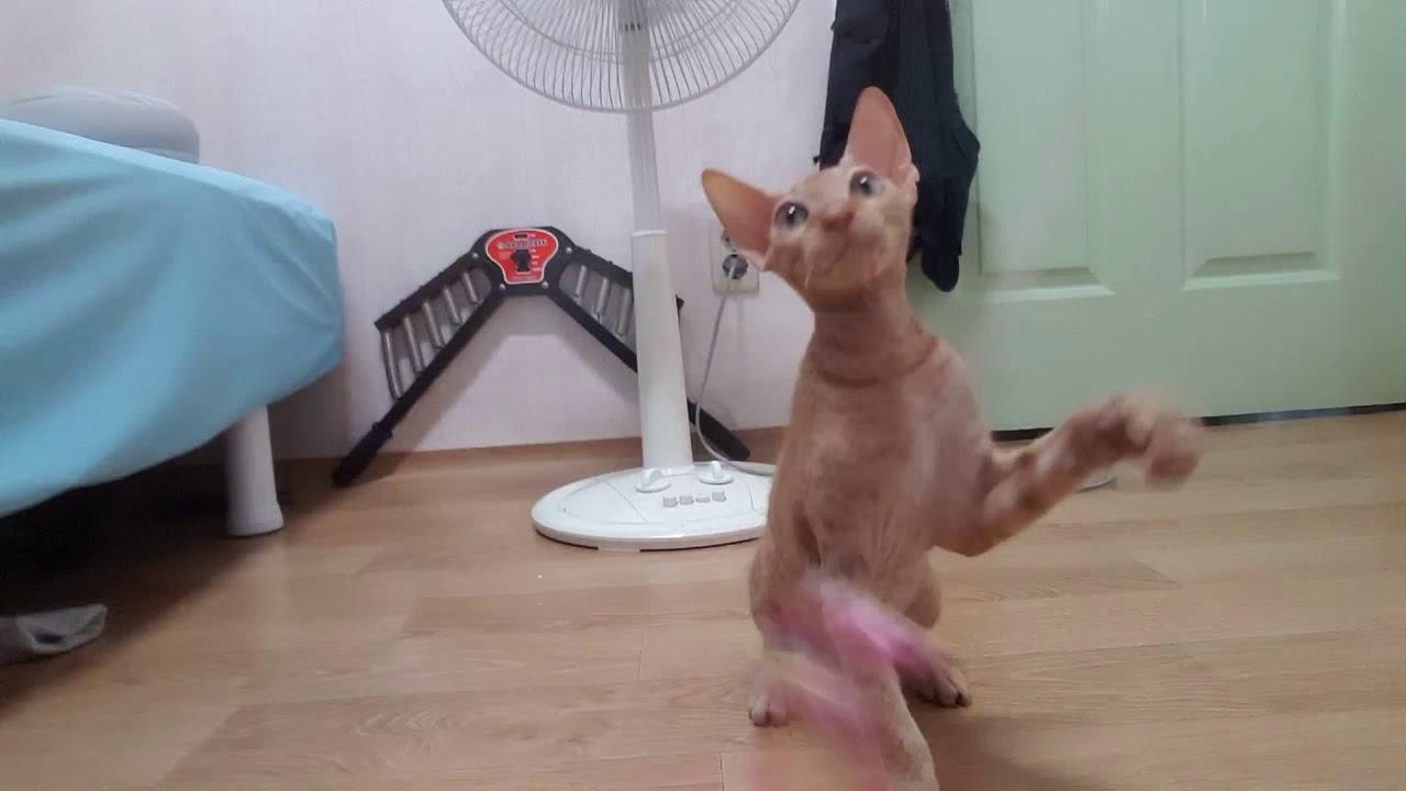 우리집에 새로운 식구!! 스핑크스 고양이를 소개합니다!!