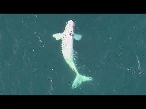 Rare White Calf of Southern Right Whale (Eubalaena australis)