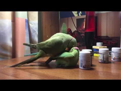 Спаривание ожереловых попугаев