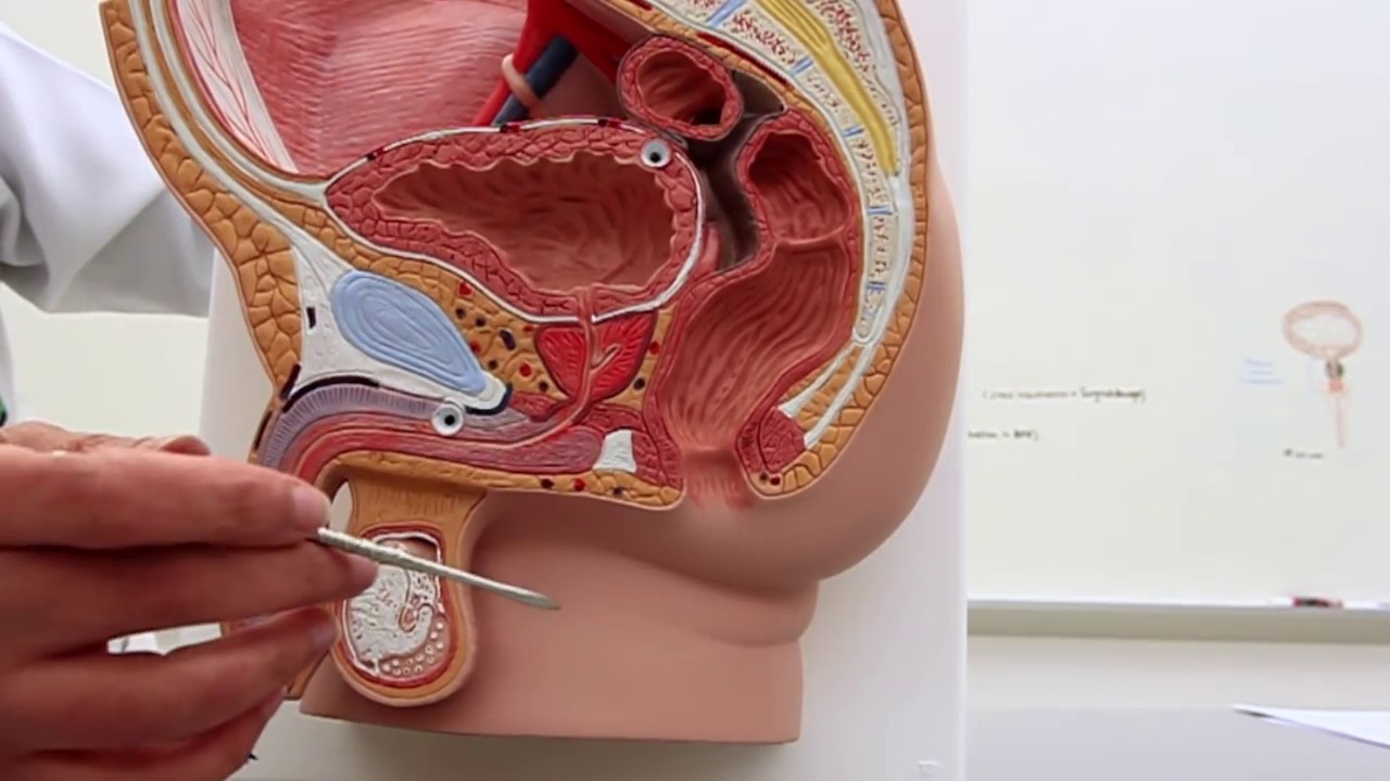 Position of the Bladder - YouTube