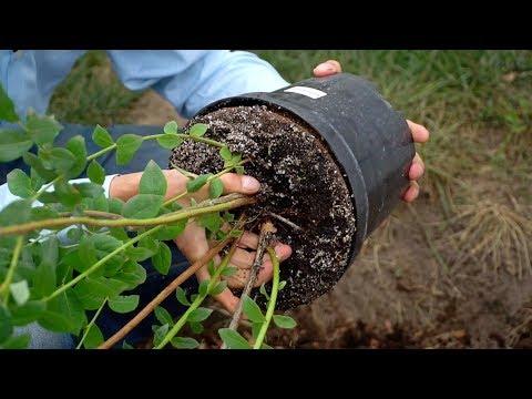 Как правильно посадить голубику садовую видео