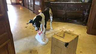 Funny Great Dane Puppy Loves to Pop Bubble Wrap ~ Cat Watches in Disbelief