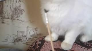 Беруся играет с кисточкой / Белая кошка \Life Berusi