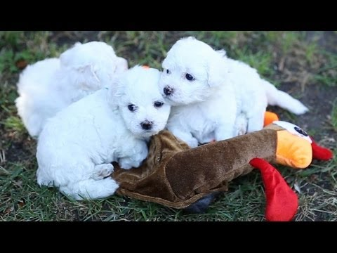 Bichon Frise Puppy Thanksgiving Dinner