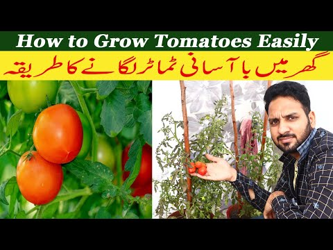 How to grow tomatoes with easy idea / Gardening is my Hobby