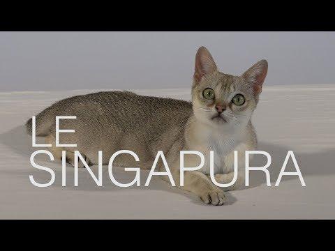 Tutocat sur le Singapura