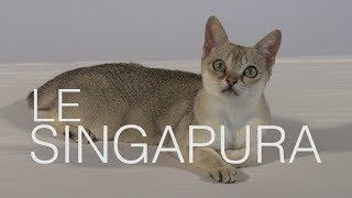 Tutocat  Le Singapura
