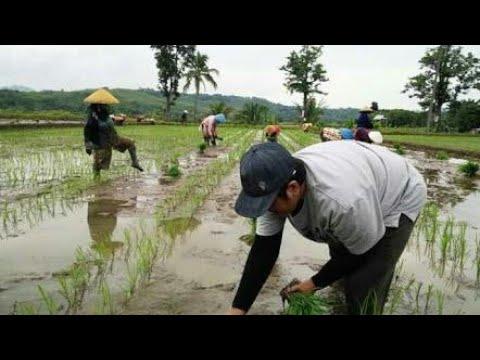 cara menanam padi secara tradisional Mp3