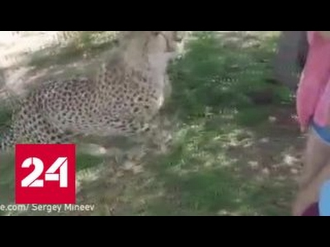 В Южной Африке гепард напал на туристку
