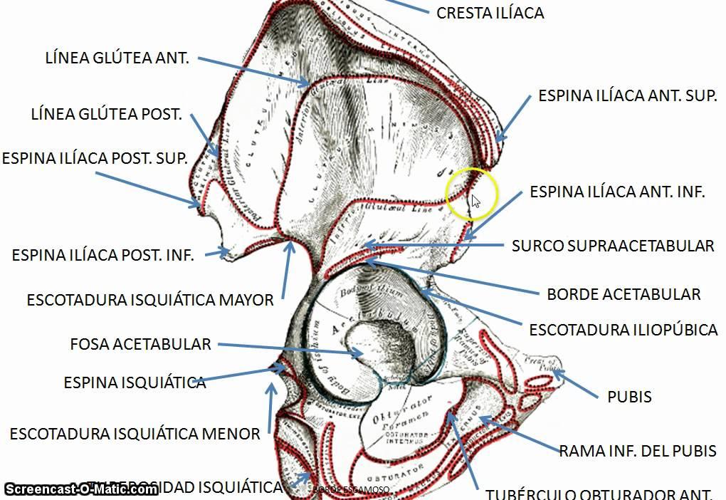 Único Anatomía Del Hueso Ilion Inspiración - Imágenes de Anatomía ...