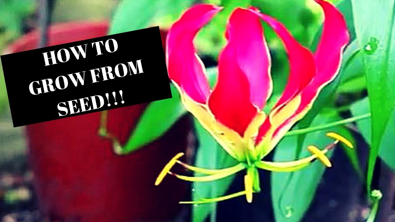 How to grow glory lily from seed gloriosa superba youtube izmirmasajfo