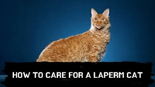 How to care for a Laperm cat Updated 2021
