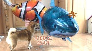 날아다니는 니모 물고기가 시바견에게 당했어요.. / 니…