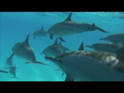 dolphin red sea
