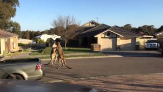 Dwa walczące kangury