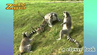 ZooZappers - Ring-tailed Lemur Family - Ringstaartmaki  #05