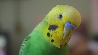 Мой ЖЕСТОКИЙ попугай Филя #1