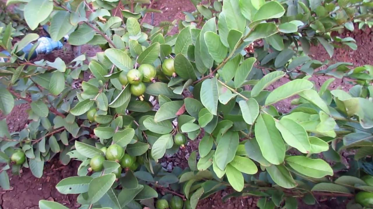 THE GUAVA  GUAYABA TREE  Medicinal amp Curative Leaves