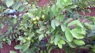 taiwan pink guava contact 9949614751 9494665252