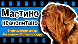 Мастино неаполитано (Молоссы). Энциклопедия собак.