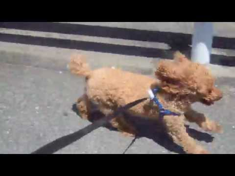 Toy Poodle Kenta. High-speed Wolk