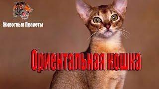 Ориентальная кошка - порода кошек, официально признанная в 1977 году в Америке.