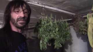 Metodo casero de secar marihuana y su manicurado.
