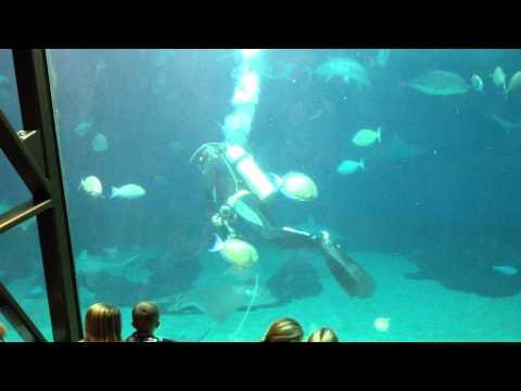 "Maui Ocean Center Aquarium ""shark and fish feeding"" presentation part 2 with diver"