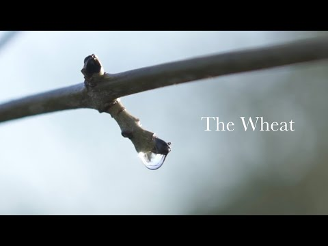 THE WHEAT / Reflective Poetry And Film