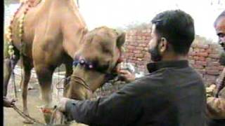 camel qurbani in daska  2009