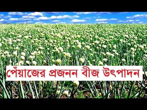 Onion Breeder Seed Production in Bangladesh  || বাংলাদেশে পেঁয়াজের প্রজনন বীজ উৎপাদন ||
