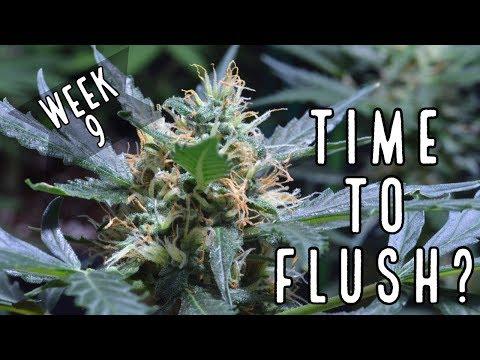 Week 9: When To Flush Autoflowers