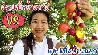 เก็บแอปเปิ้ลข้างทาง VS แอปเปิ้ลบ้านนอก กินสดๆ จากต้นอันไหนเล็กใหญ่กว่ากัน