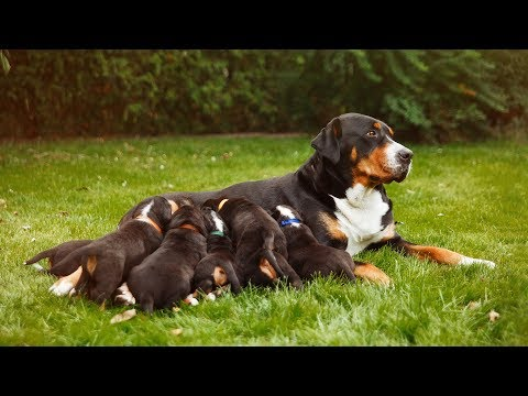Proud Dogs Love Their Puppies Compilation