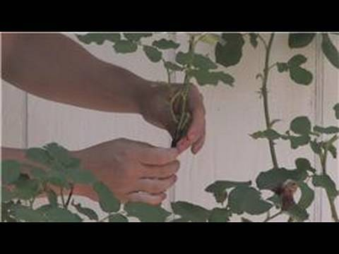 Rose Gardening How To Graft Rose Plants