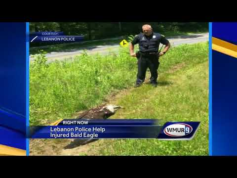 Lebanon Police Help Rescue Injured Bald Eagle