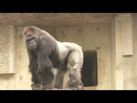 India biggest Gorilla ever