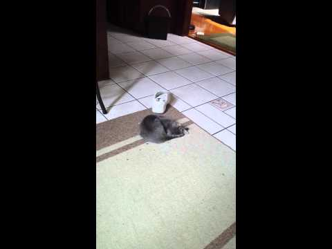 Gizmo chasing her tail