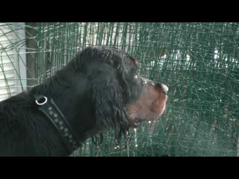 Gordon Setter puppy sees snow for the first time etc.