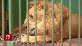 بتوقيت مصر : حديقة الحيوان تطعم الحيوانات الغير صالحة للعرض للأسود بسبب أزمة كورونا