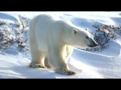 Hudson Bay and its Polar Bears.  Part 5.