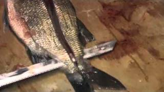 Fishing with Flys for Whitebass and Walleyes  - How to Clean Whitebass and Walleyes